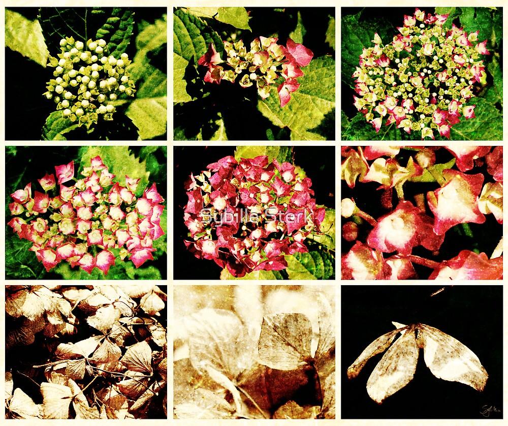 Seasons of a Hydrangea by Sybille Sterk