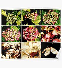Seasons of a Hydrangea Poster