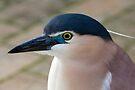 Nankeen Night Heron by Peter Pevy
