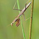 Praying Mantis by Robert Kelch, M.D.