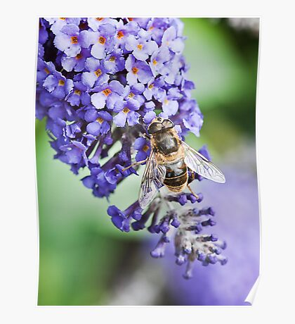 Wasp on Lilac tree Poster