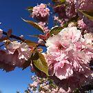 Rosafarben blühende Zierkirschblüten von masatomio