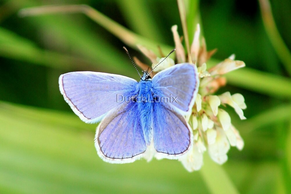 Common blue - Polyommatus icarus by DutchLumix