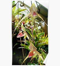 Orchids at Marie Selby Botanical Gardens Poster