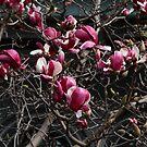 Magnolia II by Dominique Travers