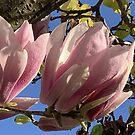 Frühling - Magnolie von agnessa38