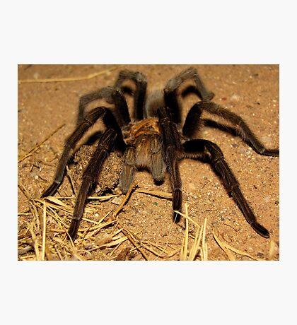 Arizona/Mexican Blonde Tarantula Photographic Print