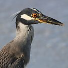 Immature night heron during day by Anthony Goldman