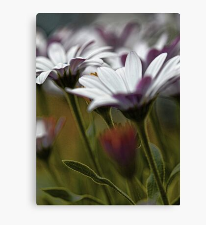 African Daisies in the Summer Breeze Canvas Print