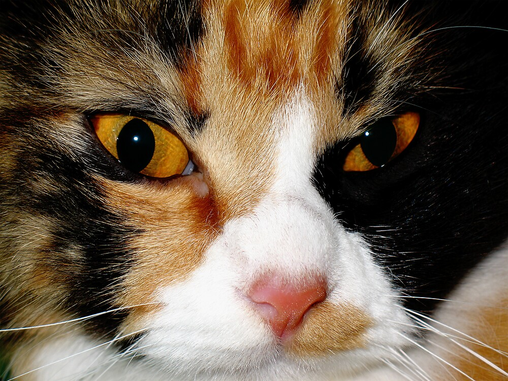 AMINAH BEE FACE, CAT PHOTOGRAPHY by NawfalNur