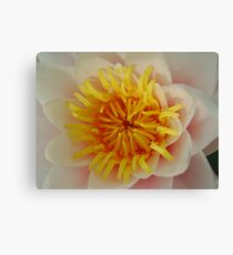 White Water Lillie Canvas Print