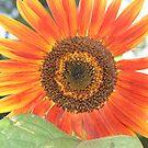 Red Sunflower by Karen K Smith