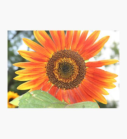 Red Sunflower Photographic Print