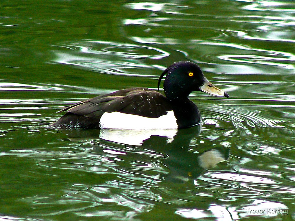 Tufted Duck (Aythya Fuligula) by Trevor Kersley