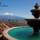~ Mount Shasta Lavender Farms ~ by WesternDreamer