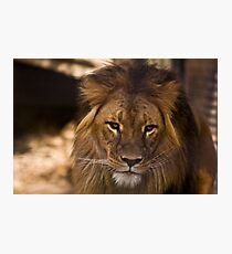 Lion 2 Photographic Print