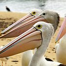 waiting. pelicans.  san remo - phillip island  by tim buckley | bodhiimages