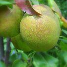 Pears in Ohio by debbiedoda