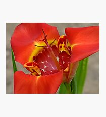 Red Tigridia Bloom Photographic Print