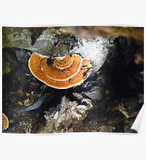 Shelf Fungus Poster