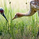 Baby Sandhill Crane is Growing Up by David Friederich