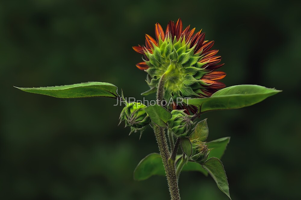 The Other Face - Sunflower by JHRphotoART