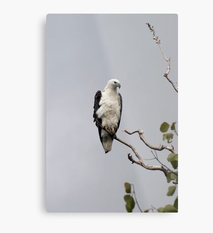 White bellied sea eagle Metal Print