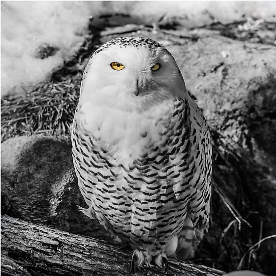 Snowy owl with stunning eyes by bms-photo