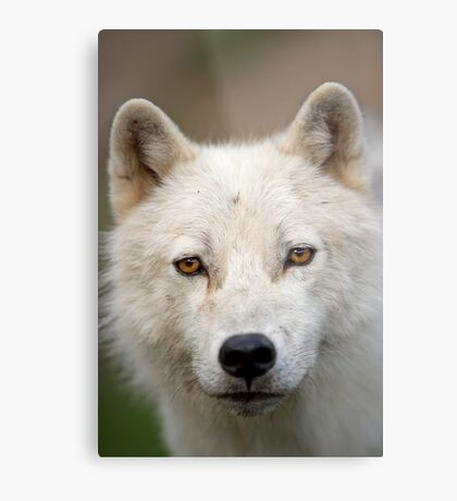 Steely eyed Stare Metal Print