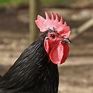 Rooster - Magpie Springs - Adelaide Hills Wine Region - South Australia by MagpieSprings