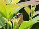 Japanese Beetle by FrankieCat