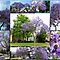 JACARANDAS IN BLOOM......MEMBERS ONLY - 20.00 Voucher for April