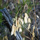 Rare central Oregon's Rattlesnake Grass by Dave Sandersfeld