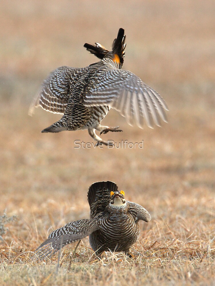 Lesser Prairie Chicken - Colorado by Steve Bulford