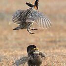 Lesser Prairie Chicken - Colorado by Steve Bulford