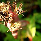 Sweet William seeds by AbsintheFairy