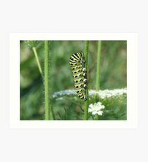 Black Swallowtail Larva Art Print