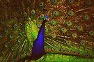 Peacock by Joshua Greiner