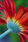 Glorious Gerbera by Extraordinary Light