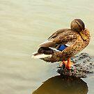 The Mallard Duck on the Island by vasasphoto