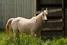 Arabian horse by Joshua Greiner