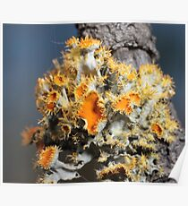 Yellow lichen Poster