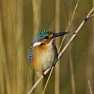 Malachite kingfisher by Anthony Goldman