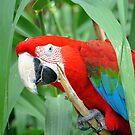 Macaw by Jody Johnson