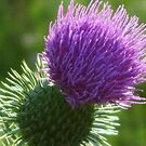 The Thistle by teresa731