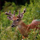 Whitetail Buck, in Velvet by Joe Elliott
