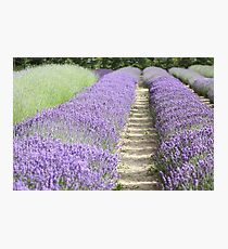 Lavender fields Photographic Print
