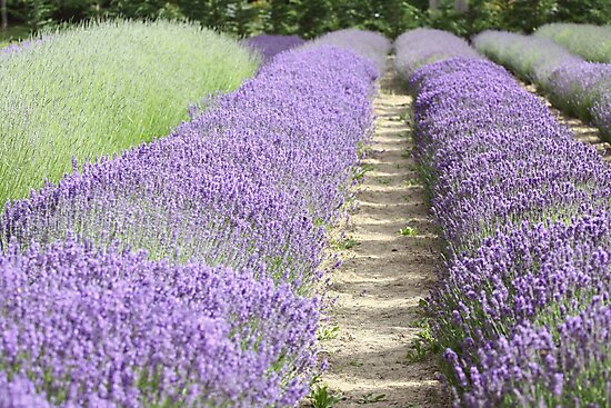 Lavender fields by SylviaCook