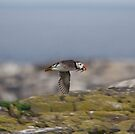 Puffin with Sand Eels by Nigel Bangert