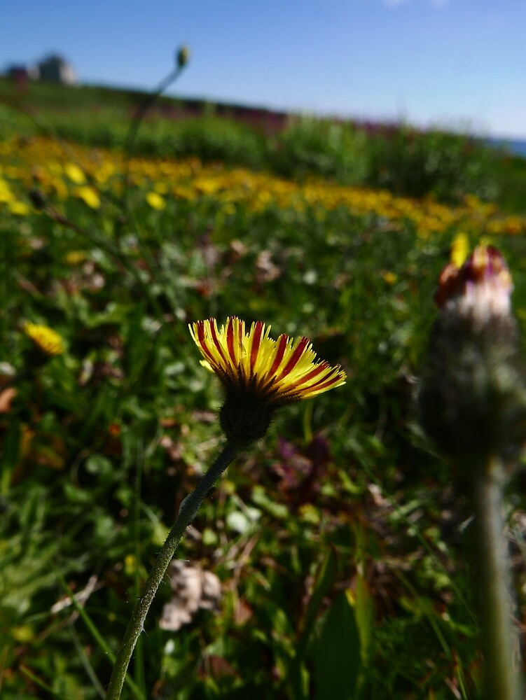 Mouse-ear Hawkweed (Pilosella officinarum) by IOMWildFlowers